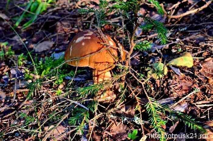 В лес за белыми грибами